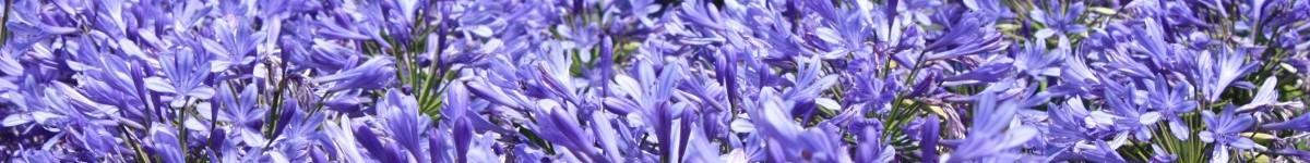 Foto ter decoratie ingezoomd op de bloemen van een groot bloemen bed met lila bloemen. Massagepraktijk Trans Esbima; Esbima massage; Bindweefselmassages; NEI; Life coaching; Coaching; Ontspanningsmassage; Mijnsheerenland; Regio's Hoeksche Waard, Rotterdam en Dordrecht e.o.; Chronische pijn (schouder, rug, nek, etc.); Acute pijn (herstel na letsel, rug, etc.); Hoofdpijn en migraine; Herstel na operaties; Ongelukken of verwondingen; Stijfheid en andere spierklachten; Een scheve lichaamshouding; Fibromyalgie; Scoliosis Carpal tunnel syndroom; RSI. Maar ook: Burn-out; Stress; Vermoeidheid; Lichte depressie; Koude handen en voeten; Tintelingen in de benen; Onverwerkt verdriet of andere emotie; Vage klachten.
